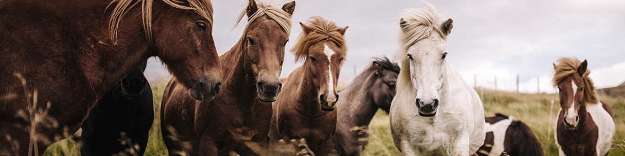 Header_Pferde