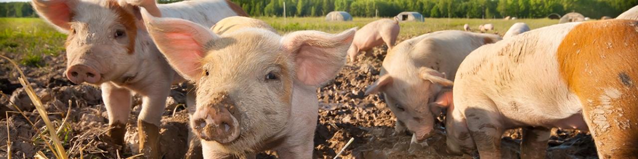 Header_Schweine